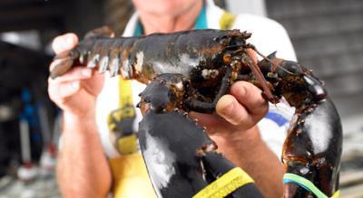 加国龙虾在中国大受欢迎 养殖户抱怨并未受惠
