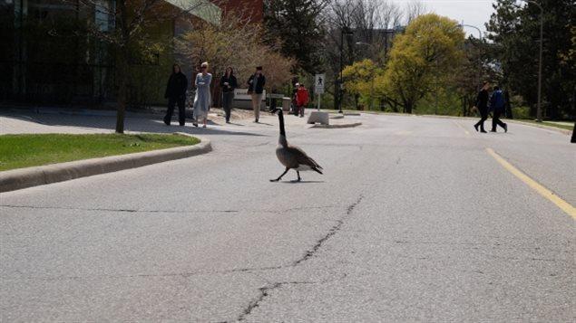 加拿大鹅喜欢在城市地区绿地栖息